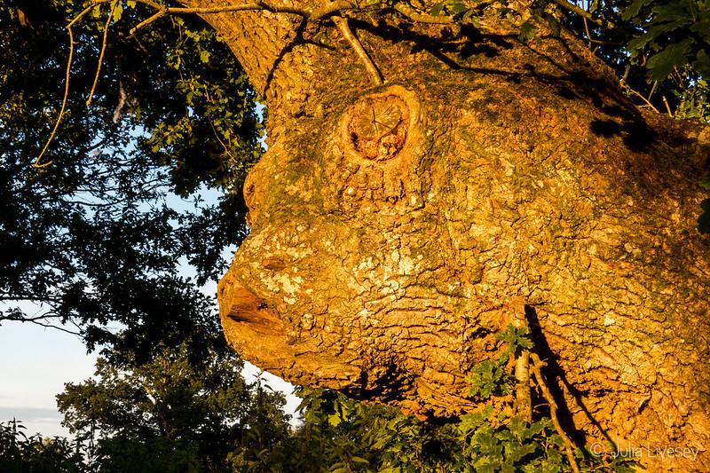 Face of an oak