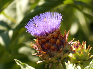 Thistle Flowers