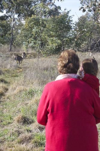 Watching the kangaroos