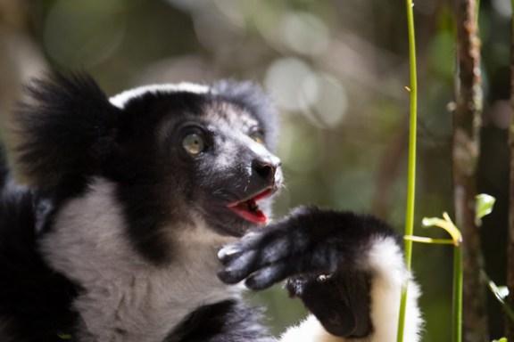 Indri portait
