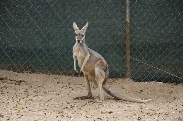 Thinking kangaroo