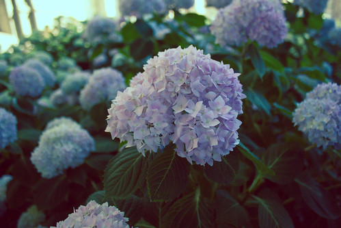 cathedral hydrangeas