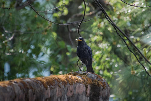 Blue Whistling Thrush (with feed)