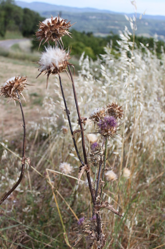 IMG_5804-thistle-heads