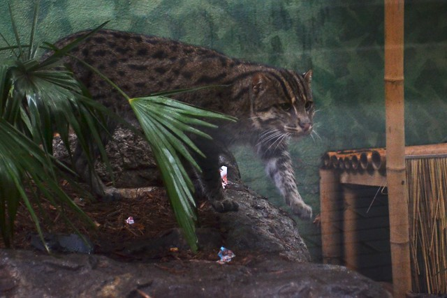 Fishing Cat March