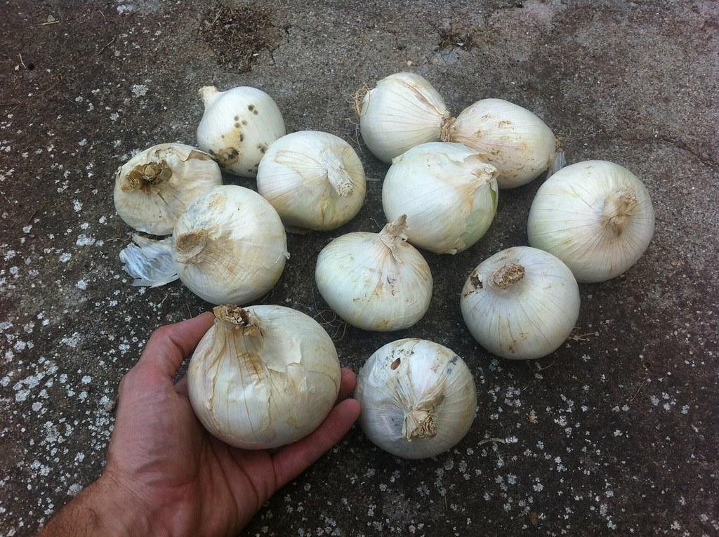 Cebollas para plantar calçots