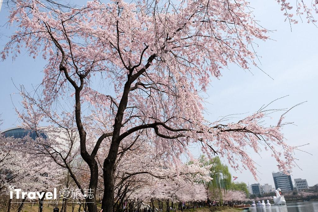 首尔赏樱景点 乐天塔石村湖 (11)