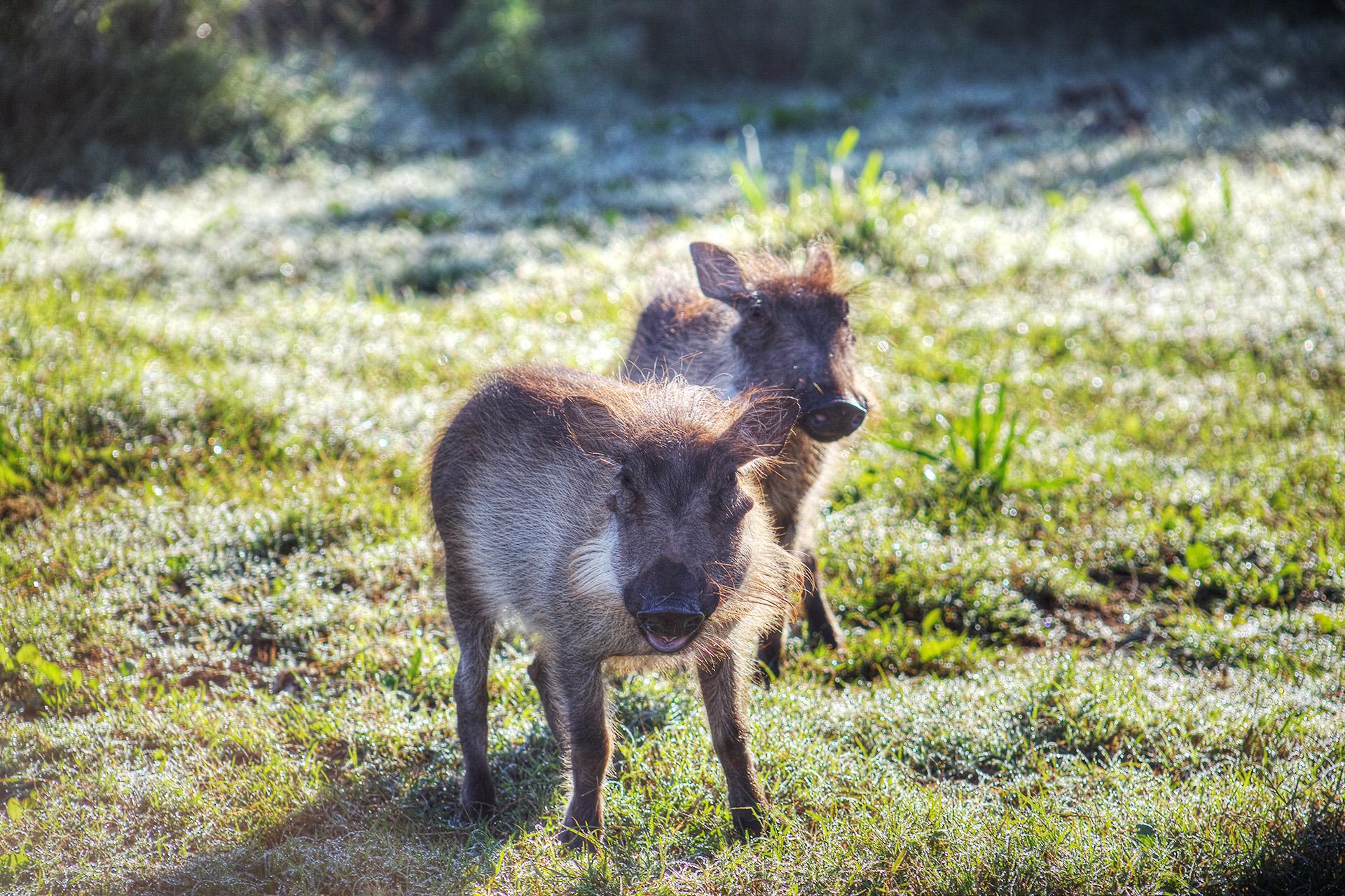 Baby warthogs.