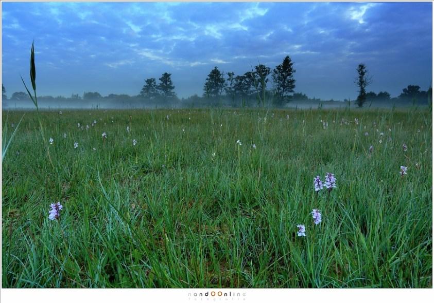 Een veld met orchideeën in de ochtendschemering