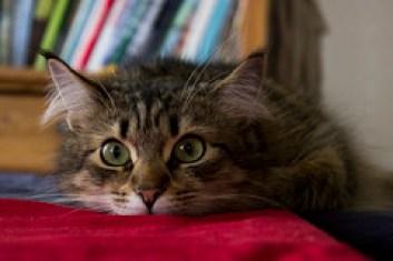 Eva / Siberian Forest Cat