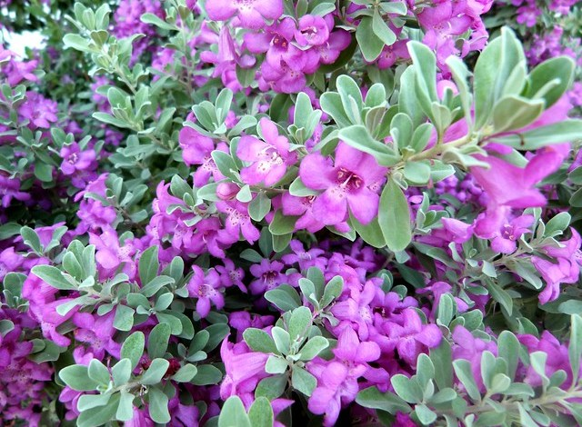 Texas Siverado sage blooms 160831cc