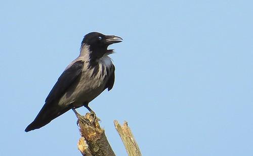 Kråka / Hooded Crow