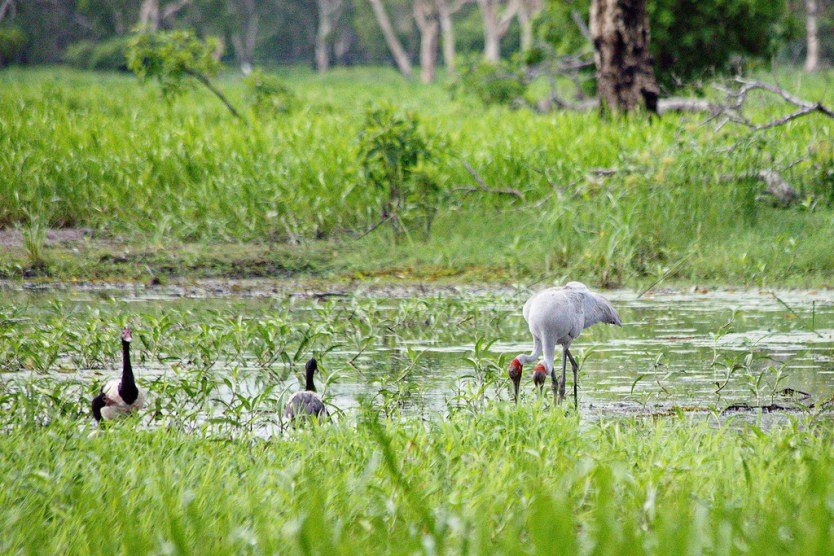 (Left) Magpie Goose. (Right) Brolga.