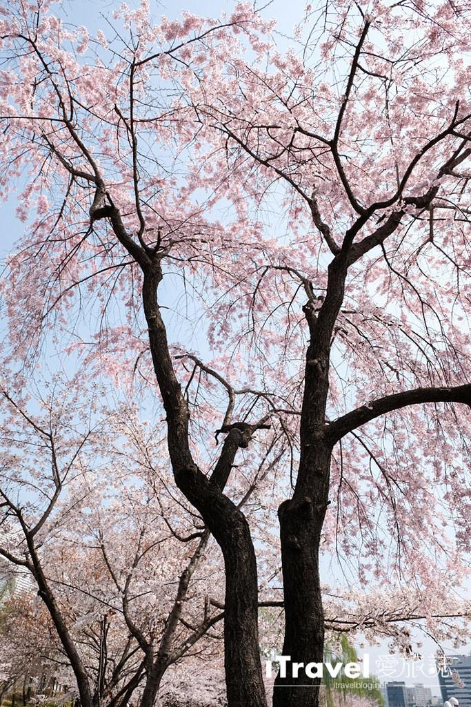 首尔赏樱景点 乐天塔石村湖 (12)