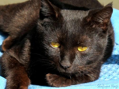 Black Pussy Cat