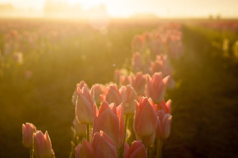 Tulip Dawn