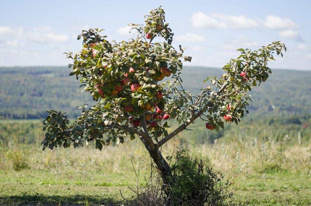 short story // apple picking 8