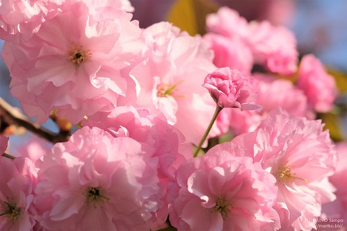 八重桜 20170416-DSCT6605 (2)