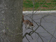 Raccoon in tree