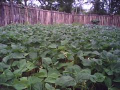 green beans gone WILD!