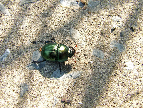 earth-boring beetle (Geotrupes sp.)