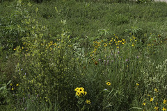 Nebraska Wildflowers