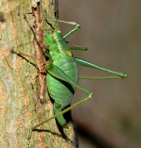 Speckled bush cricket (leptophyes punctatissima)