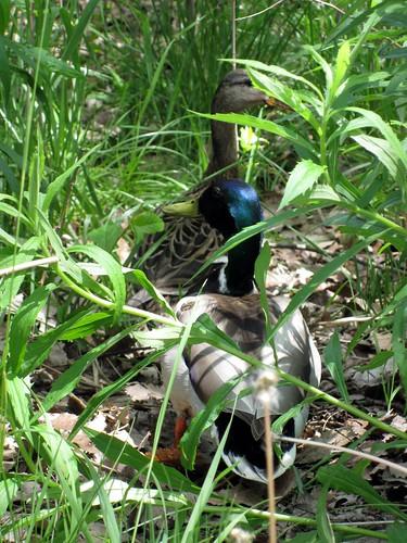 Ducks in the islands