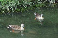 泉の森(ふれあいの森)のカルガモ(Spotbill duck, Izuminomori park, Yamato, Kanagawa, Japan)