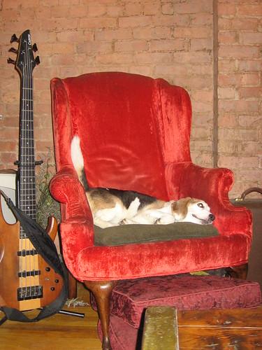 Bailey the wonder beagle