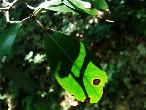 laurel leaf