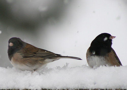 dark eye'd junco