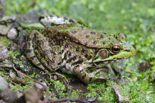 Green Frog 300mm lens