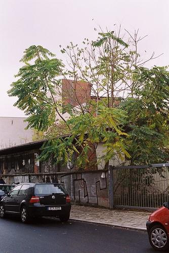 Linienstraße Alianthus 2