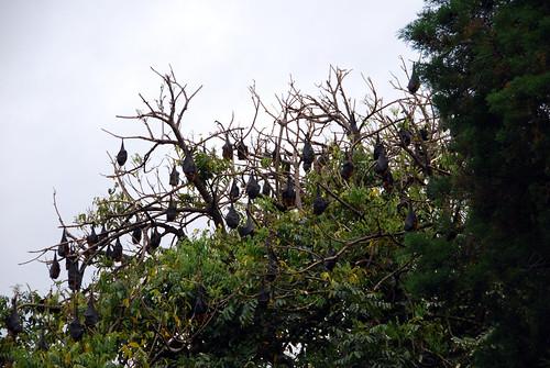 Un árbol cargado de murciélagos