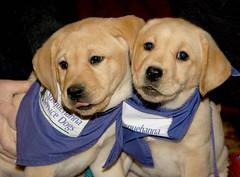 Service Dog Puppies