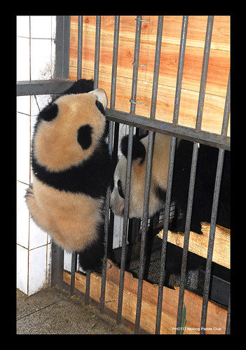Long Xin's Twins..our Metal and Wood adoption tribe bundles of joy!! 2/09