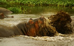Hippo Fights