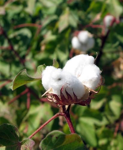 Cotton / Turkmenistan, Ashgabat