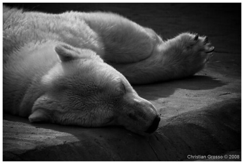 "Oso Polar • <a style=""font-size:0.8em;"" href=""http://www.flickr.com/photos/20681585@N05/3109191160/"" target=""_blank"">View on Flickr</a>"