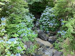 檜町公園のガクアジサイ(Hydrangea, Hinokicho Park, Tokyo, Japan)