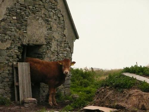 A cow near our cottage