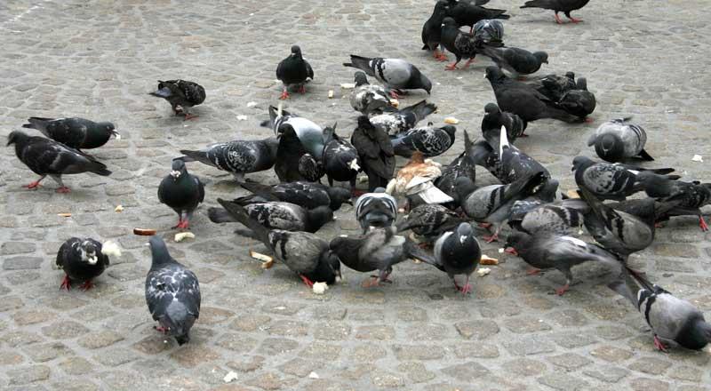 Dam-duiven-IMG_0741a