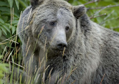 grizzly from wikipedia