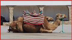 Camels ...Just Waiting...