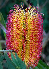 Banksia seminuda #1