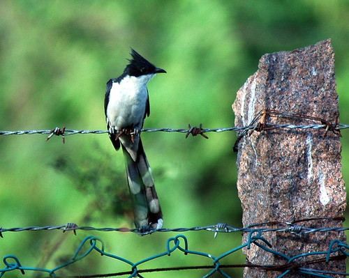 Pie Crested Cuckoo