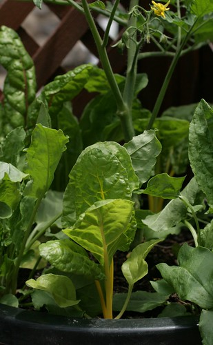 Swiss chard in container