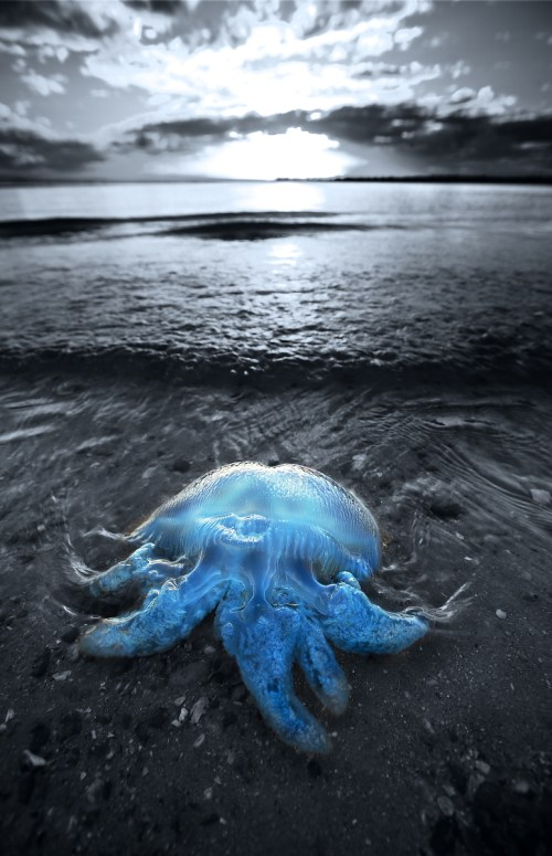 """Cordon Bleu"" - Catostylus"