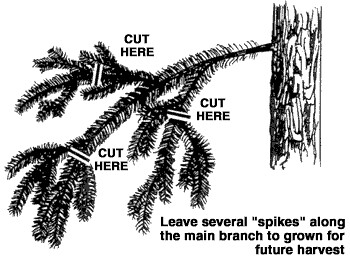 Where to cut to ensure a sustainable bough harvest. Click to see original.